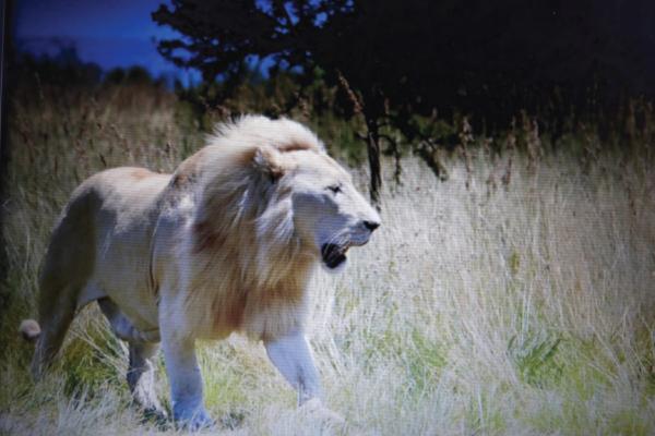 <p>Lion pride butchered</p>